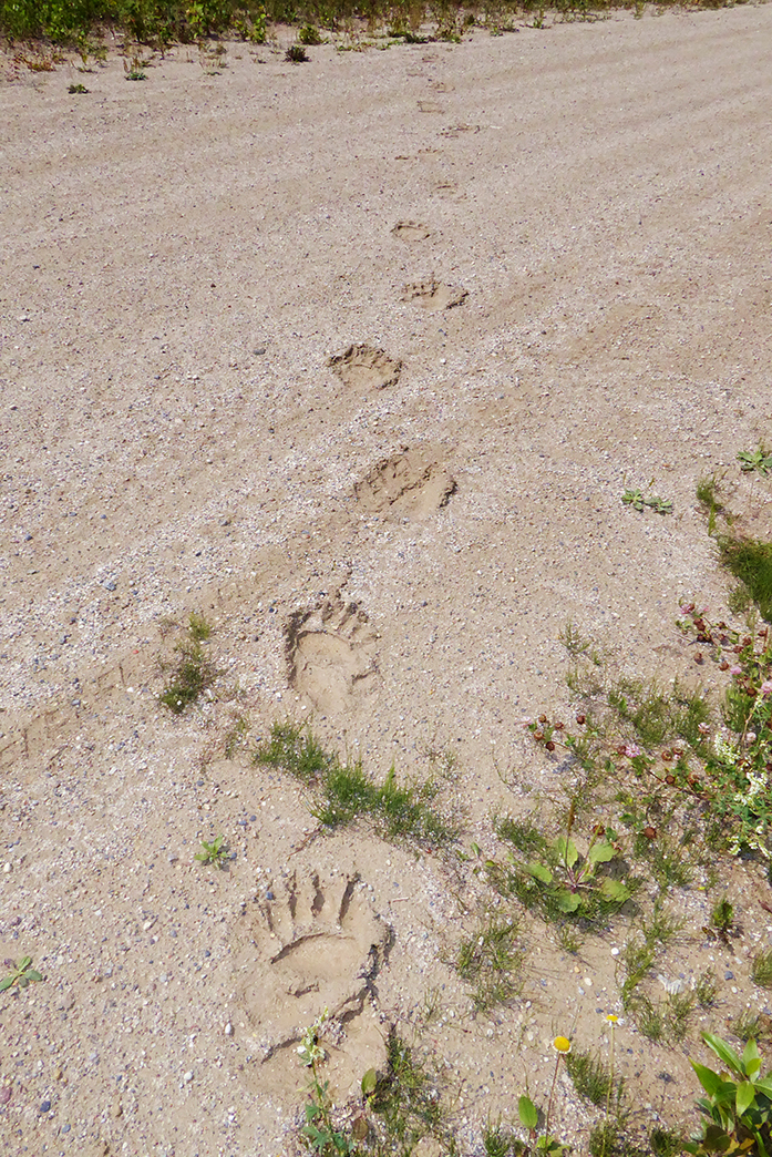 Bear Prints_web
